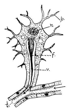 A flame cell is a specialized excretory cell found in the simplest freshwater invertebrates, vintage line drawing or engraving illustration.