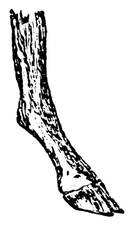 Compressed Foot which is s useful for land transit, vintage line drawing or engraving illustration.