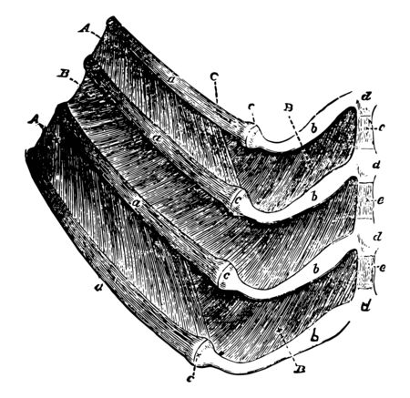 Portions of four ribs of a dog with the muscles between them, vintage line drawing or engraving illustration.