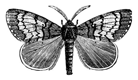 Male Gipsy Moth is dark brown or smoky with zigzag darker markings, vintage line drawing or engraving illustration.