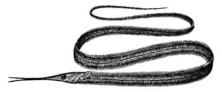 Snipe Eel is a deep water fish of the Atlantic, vintage line drawing or engraving illustration. Ilustracja
