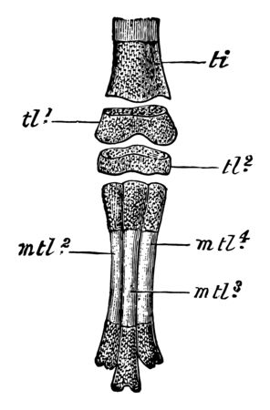 Part of left foot of an unhatched embryo, vintage line drawing or engraving illustration.