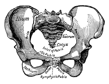 This illustration represents Female Pelvis, vintage line drawing or engraving illustration.