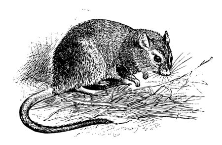 Gerbille à long front qui contient plus de 40 espèces, dessin de ligne vintage ou illustration de gravure.