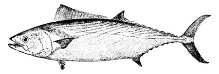 Bonito is a tribe of medium sized, vintage line drawing or engraving illustration.