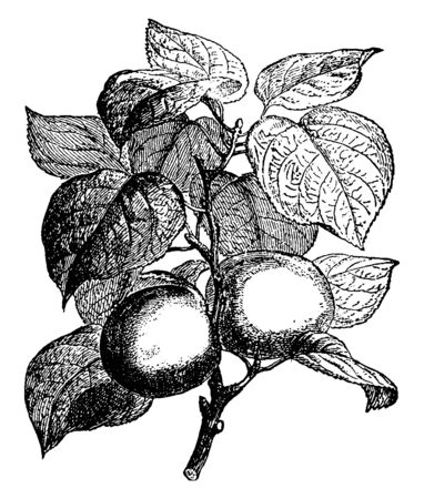 This is the walnut tree in the frame. He has leaves and walnuts, vintage line drawing or engraving illustration.