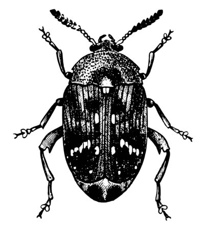 Pea Weevil Adult which is a small insect, vintage line drawing or engraving illustration. Ilustração