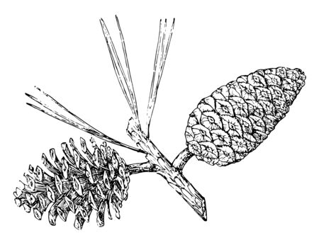 A picture having two pine cones, vintage line drawing or engraving illustration. Stock Illustratie