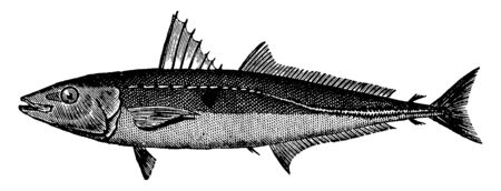 Cigarfish having a thick fusiform shape, vintage line drawing or engraving illustration.