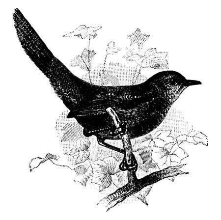 Rufous Scrub Bird is a species of Australian birds in the Atrichornithidae family of scrub birds, vintage line drawing or engraving illustration. Ilustração