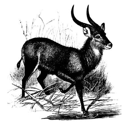 Kobus Sing Sing Antilope hat zwei lange und gebogene Hörner, Vintage-Linienzeichnung oder Gravurillustration.