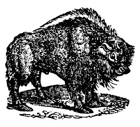 Bison are large even toed ungulates in the genus Bison within the subfamily Bovinae, vintage line drawing or engraving illustration. Illustration