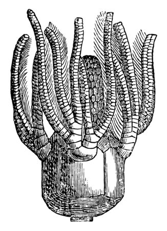 Platycrinus are paleozonic crinoid. They are from carboniferous limestone in Ireland, , vintage line drawing or engraving illustration. Banco de Imagens - 133017253