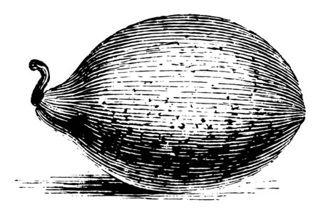 The Figari melon is an ornamental and small fruited melon, vintage line drawing or engraving illustration. Иллюстрация
