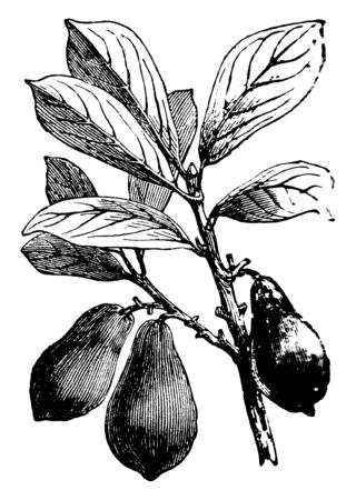A picture of Avocado tree with leaves and fruits. It is also known as an alligator pear or butter fruit. The fruit is generally a pear-shaped, with a dark green, leather like outside and a soft cream, vintage line drawing or engraving illustration.