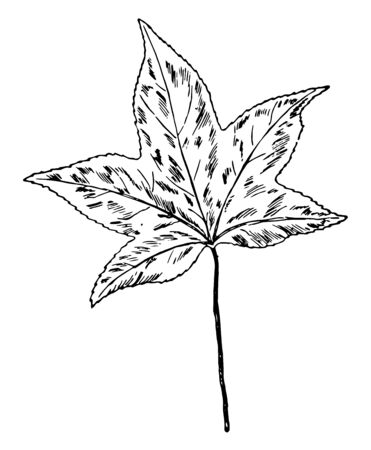 A leaf of a Gumwood tree, vintage line drawing or engraving illustration.