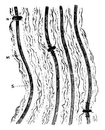 Several fibers of a bundle of medullated nerve fibers acted upon by silver nitrate to show peculiar behavior of nodes of Ranvier, vintage line drawing or engraving illustration.