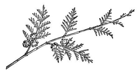 Es ist ein Zweig einer Zypresse. Es ist eine Art Nadelbaum, Vintage-Linienzeichnung oder Gravurillustration.