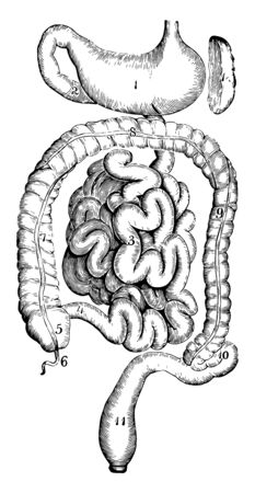 This illustration represents The Stomach and Intestines, vintage line drawing or engraving illustration.
