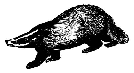 Badger have long wide bodies with short legs, vintage line drawing or engraving illustration. Ilustracja