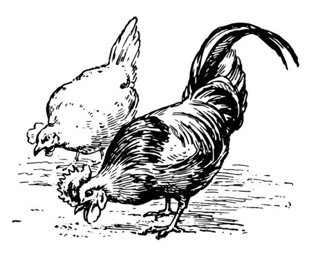 Chickens Eating food off of the ground, vintage line drawing or engraving illustration.