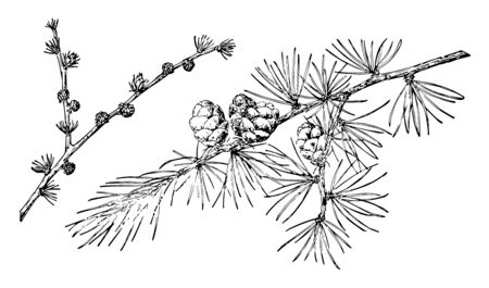 Small Pine Cones hanging upright on branch of a tree, vintage line drawing or engraving illustration.