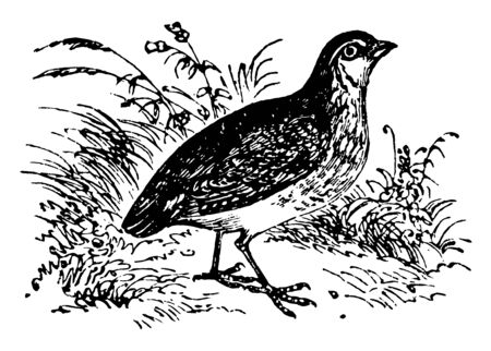 Common Quail is a genus of rasorial birds included in the family of partridges, vintage line drawing or engraving illustration.