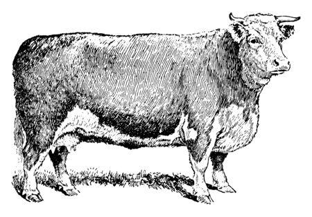 Rinderkuh, die für die Fleischproduktion, Vintage-Linien-Zeichnung oder Gravierillustration aufgezogen wird.