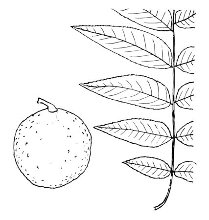 A picture of a twig having one leaf on both side of twig. Leaf scars are upside down. A walnut can be seen in picture too, vintage line drawing or engraving illustration. Illusztráció
