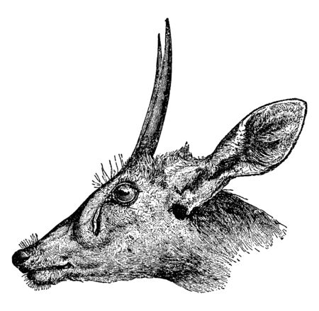 Bush Buck is a relative of the South African antelope, vintage line drawing or engraving illustration.