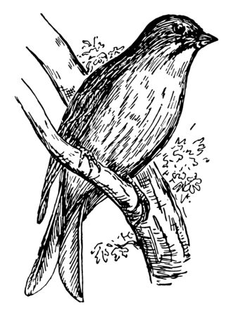 Ortolan is a species of bird native to the coasts of the Mediterranean Sea, vintage line drawing or engraving illustration. Иллюстрация