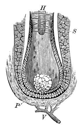 This illustration represents Hair Papilla, vintage line drawing or engraving illustration. Reklamní fotografie - 133404739