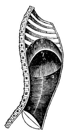 Cette illustration représente le diaphragme pendant l'expiration, un dessin de ligne vintage ou une illustration de gravure.