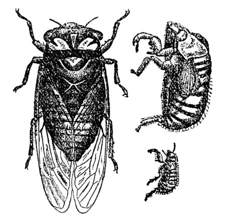 Cicada Pruinosa can be heard in summer and autumn at most any time, vintage line drawing or engraving illustration.