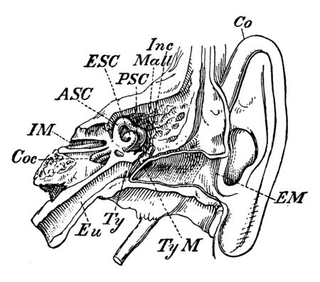 This illustration represents Inner Ear, vintage line drawing or engraving illustration.