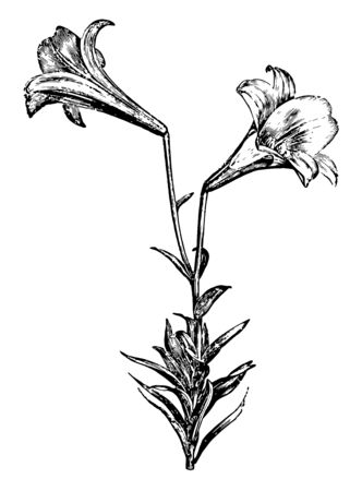 This image showcases the attractiveness of the Lilium Longiflorum, often called the Easter lily, vintage line drawing or engraving illustration.