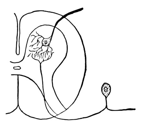 This illustration represents Connection of the Neoron of the Posterior Root and the Neoron of the Anterior Root, vintage line drawing or engraving illustration.