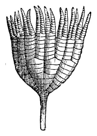 Ichtyocrinus are paleozonic crinoid, found in Silurian limestone in North America, vintage line drawing or engraving illustration.