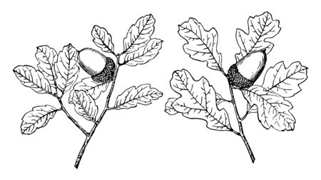 These are two small branches of Coastal Sage Scrub Oak which are basicaly native to Mexico and California. A fruit is oval shaped, vintage line drawing or engraving illustration.