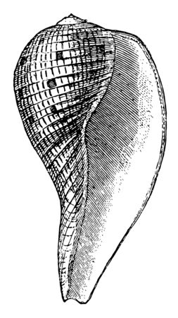 Fig Shell is a sea snail in the Ficidae family, vintage line drawing or engraving illustration.