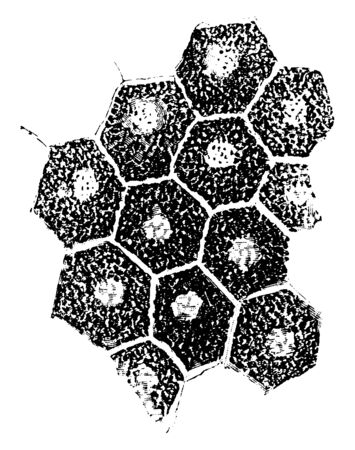 This illustration represents Pigment Epithelium of Retina, vintage line drawing or engraving illustration. Illustration