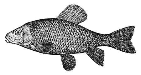 Chub Sucker is a catostomine fish with the air bladder dvided into two parts, vintage line drawing or engraving illustration.