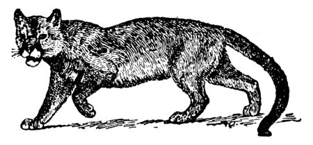 Puma is a large felid of the subfamily Felinae native to the Americas, vintage line drawing or engraving illustration.