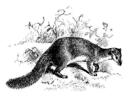 Falanouc is a rare mongoose like mammal in the carnivoran family Eupleridae endemic to Madagascar, vintage line drawing or engraving illustration.