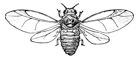 Chermes is a genus of bark lice of the family Aphidid, vintage line drawing or engraving illustration.