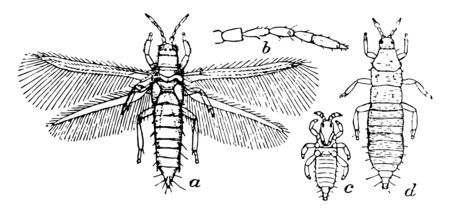 Thrips Tabaci is a pest to onion crops, vintage line drawing or engraving illustration.