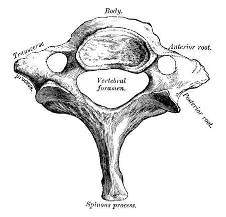 This illustration represents Seventh Cervical Vertebra, vintage line drawing or engraving illustration.
