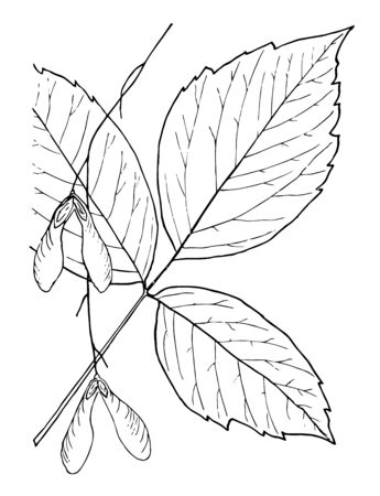 These are the leaves of the Genus Negundo. Leaflets are attached along an extension of the petiole called a rachis. The leaves are compound and always an odd number of leaflets, vintage line drawing or engraving illustration.