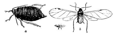 The Bean Fly is found on many herbaceous plants, vintage line drawing or engraving illustration. Imagens - 133018171