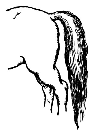 Horse Tail consists of the muscles and skin covering the coccygeal vertebrae, vintage line drawing or engraving illustration.